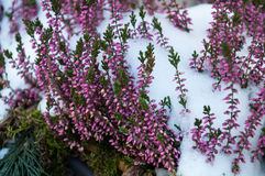 Flowers in the snow. Heath covered with snow in winter Royalty Free Stock Photos