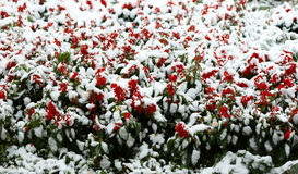 Flowers in snow Stock Image