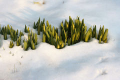 Flowers in  the snow. Force of aspiration to the sun Stock Photos