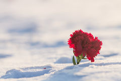 Flowers on the snow Stock Photography