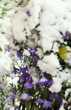 Flowers in the snow!. Freezing flower, purple chrysanthemums, chrysanthemum, abrupt cooling, abnormal weather, cold season, snowfall, autumn, ecological Royalty Free Stock Images