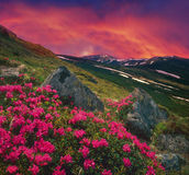 Flowers, snow and rocks Royalty Free Stock Images