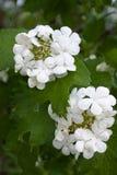 Flowers of snowball tree (Viburnum opulus) in the garden Stock Photos