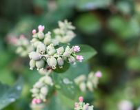 Flowers Snowberries, Symphoricarpos. On a green background Stock Photos