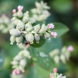 Flowers Snowberries, Symphoricarpos Royalty Free Stock Photos
