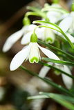 Flowers of snowdrop Stock Photo