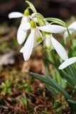 Flowers of snowdrop Stock Photos
