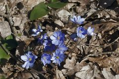 Flowers  snowdrops. In the forest grow snowdrops of blue color among dry leaves Stock Photos
