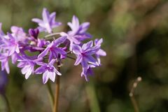 Society garlic Tulbaghia violacea. Flowers of a society garlic Tulbaghia violacea Stock Photo