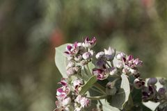 Flowers of a Sodom apple bush Calotropis procera. A poisonous plant from the Near East and North Africa royalty free stock images