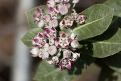 Flowers of a Sodom apple bush Calotropis procera. A poisonous plant from the Near East and North Africa stock photos