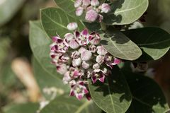 Flowers of a Sodom apple bush Calotropis procera. A poisonous plant from the Near East and North Africa stock image