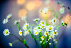 Flowers soft beauty. Fresh camomile flowers lights bokeh background Stock Images