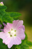 Flowers, Soft Pink Flower Royalty Free Stock Photography