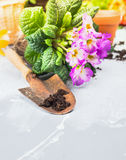 flowers with soil and root on garden table Royalty Free Stock Photo