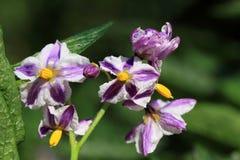 Flowers of Solanum muricatum Stock Images