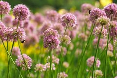 Flowers of some allium Stock Photos