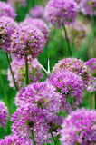 Flowers of some allium. Close up of the flowers of some allium with butterfly stock images