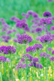 flowers of some allium Royalty Free Stock Photo
