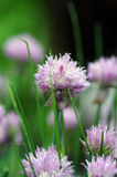 Flowers of some allium. Close up of the flowers of some allium with butterfly royalty free stock photo