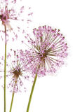 flowers of some Chives Stock Photography