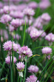 Flowers of some Chives. Close up of the flowers of some Chives royalty free stock images