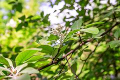 Flowers of Sorbus graeca on a branch. Is close stock image