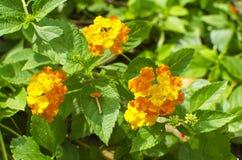 Flowers sort of family Verbena Stock Photo
