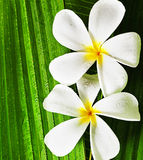 flowers spa Στοκ Εικόνα