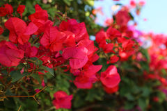 Flowers of Spain. Beautiful flowers of Spain in the garden Royalty Free Stock Photo