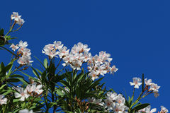 Flowers of Spain. Wite flowers of Spain on a blue backgraund Stock Image