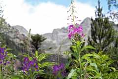Flowers in spanish Pyrenees. Landscape with flowers in spanish Pyrenees royalty free stock photo