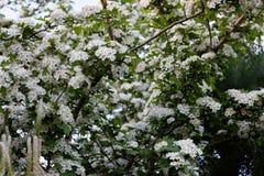 Spiraea Thunbergii. Flowers of Spiraea Thunbergii, ornamental garden varietie Stock Photography