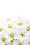Flowers of spiraea on white Stock Images