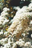 Flowers of spiraea Stock Photos