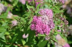 Flowers of a spirea closeup Royalty Free Stock Photos