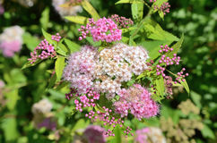Flowers of a spirea closeup Stock Photography