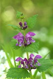 Flowers of Spotted Deadnettle (Lamium maculatum). In spring forest Stock Photography