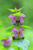 Flowers of Spotted Deadnettle (Lamium maculatum) Royalty Free Stock Photo