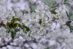 Flowers on an spring apple tree stock image