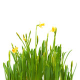 Flowers spring bloom daffodils isolated white Royalty Free Stock Photos