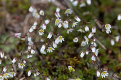 Flowers of spring draba Draba verna Royalty Free Stock Photo