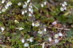Flowers of spring draba Draba verna Stock Photo