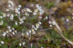 Flowers of spring draba Draba verna Royalty Free Stock Photos
