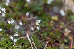 Flowers of spring draba Draba verna Royalty Free Stock Images