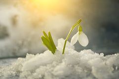 Free Flowers Spring First White Snowdrops In The Fallen Snow. Royalty Free Stock Image - 133664866