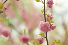 Flowers of spring. Freshness of spring morning in gentle sakura petals Stock Photos
