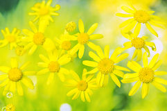 Flowers of spring groundsel on blurred  background Stock Image