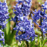 Flowers spring hyacinths in the garden Royalty Free Stock Images