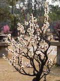 Flowers in spring series: white plum ( Bai mei in Chinese) bloss Royalty Free Stock Photos